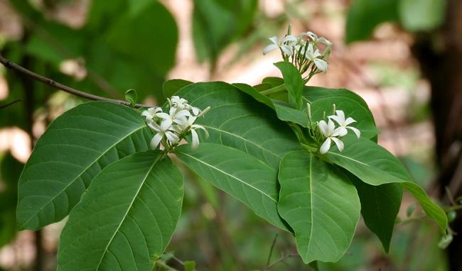 Mộc hoa trắng dược liệu quý điều trị viêm đại tràng