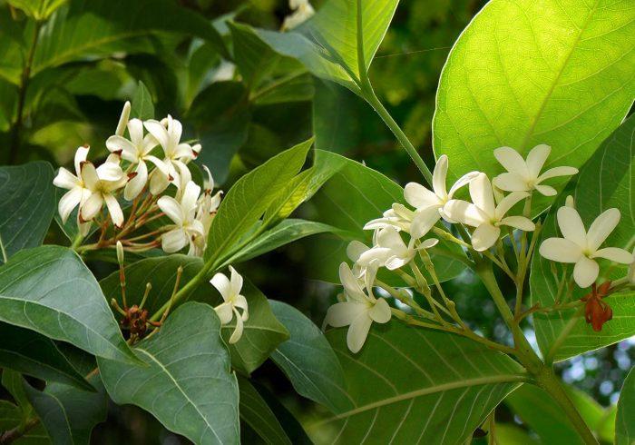Mộc hoa trắng là gì và tác dụng chữa bệnh của mộc hoa trắng ra sao