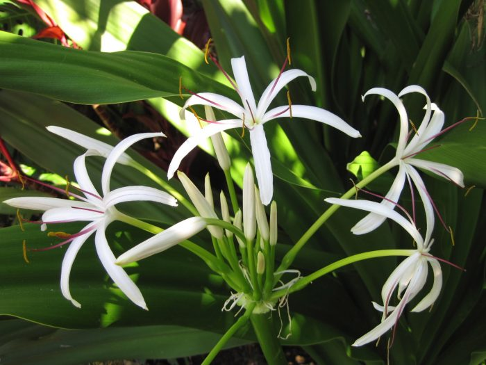 Cây nang hoa trắng có nét rất giống với cây trinh nữ hoàng cung