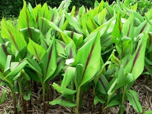 Một vườn nghệ trồng làm thuốc