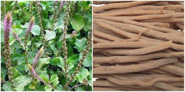 Cây cỏ xước có tác dụng chữa bệnh về xương khớp, quai bị...