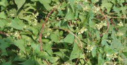 Cây hà thủ ô mọc nhiều trong tự nhiên