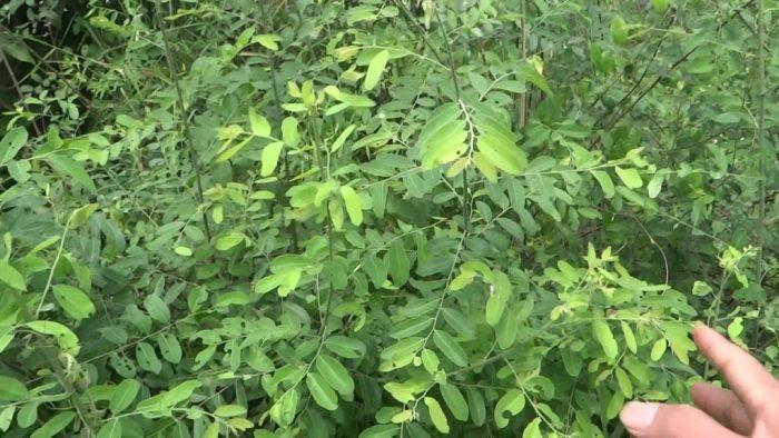 Hình ảnh cây mực khi chưa ra quả