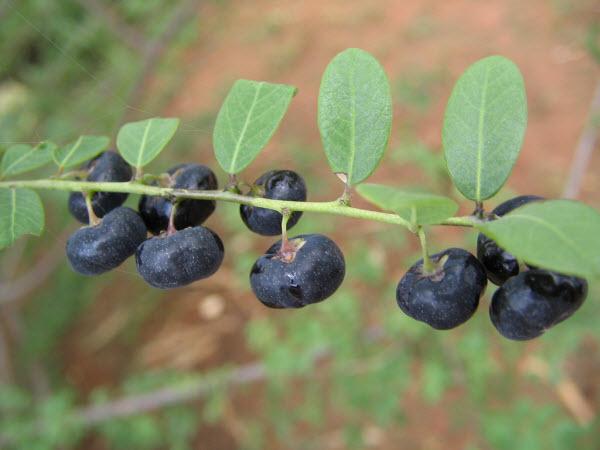 Hình ảnh quả cây mực màu tím đen