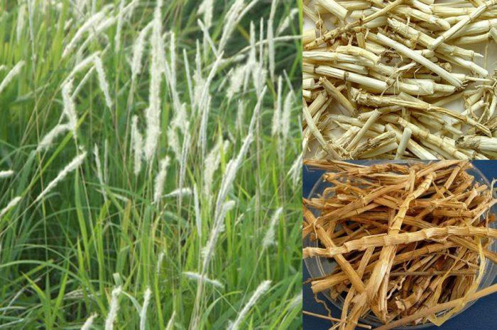 Rễ cỏ tranh có tác dụng gì cùng hình ảnh và cách dùng rễ cỏ tranh