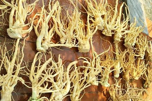 Rễ cây đinh lăng từ 3 năm tuổi có thể sử dụng