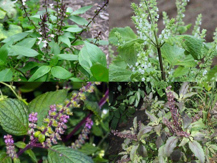 Tác dụng cách dùng cây hương nhu và giá tiền 1kg của cây hương nhu