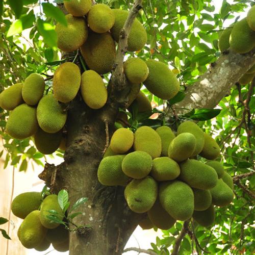 Tác dụng của cây mít chữa bệnh gì và cách dùng cây mít hiệu quả