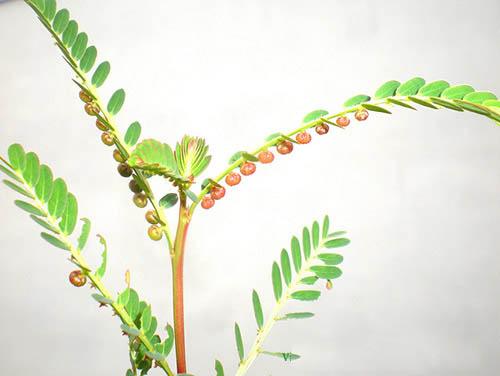Tác dụng của cây dệp hạ châu