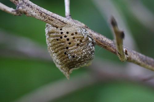 Tang phiêu tiêu là tổ của con bọ ngựa