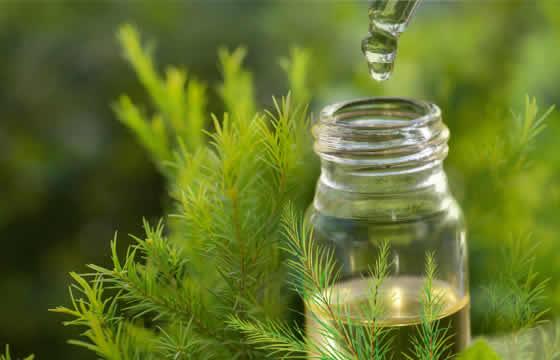 Tinh dầu tràm có tác dụng điều trị bệnh và làm đẹp da