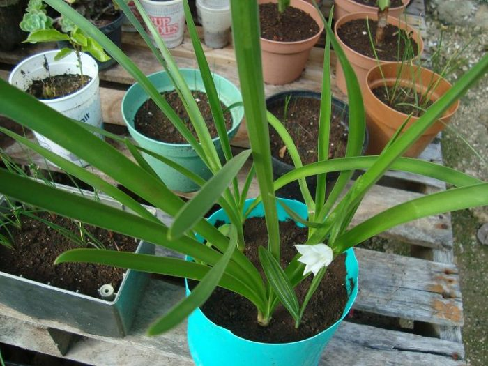 Sâm đại hành có thể trồng dễ dàng ở vườn nhà