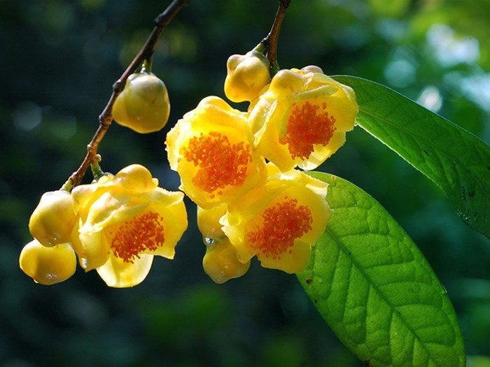 Trà hoa vàng là loại dược liệu quý từ bông hoa trà màu vàng.
