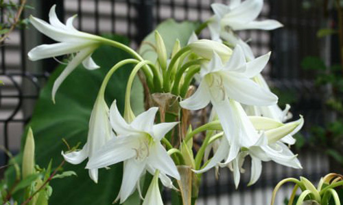 Hoa của cây trinh nữ hoàng cung có màu trắng, nhìn giống hoa huệ