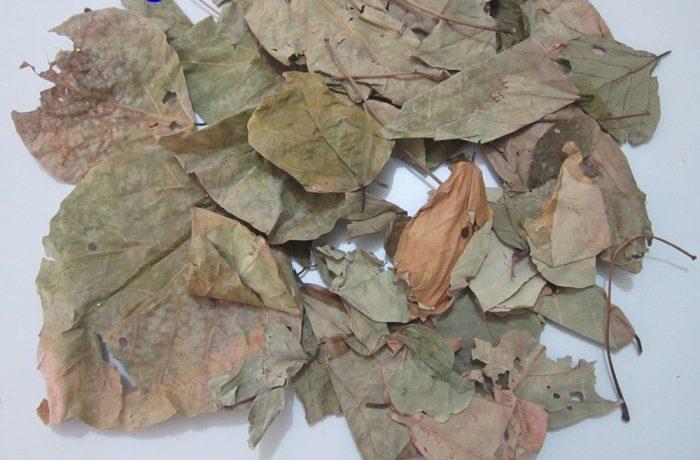 Hình ảnh lá hải đồng bì khô