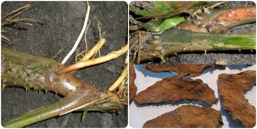 Rễ cây chóc gai chữa được nhiều loại bệnh