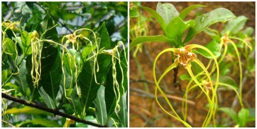 Hoa của cây sừng dê
