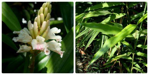 Lá và hoa cây ích trí