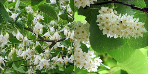 Đặc điểm cây an tức hương và thành phần dược chất của an tức hương
