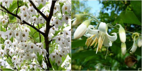 Tác dụng cây an tức hương chữa bệnh hiệu quả