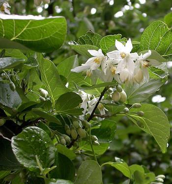 Hình ảnh lá, hoa và búp an tức hương