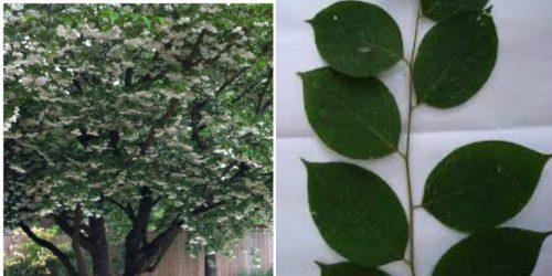 Hình ảnh cây và lá an tức hương
