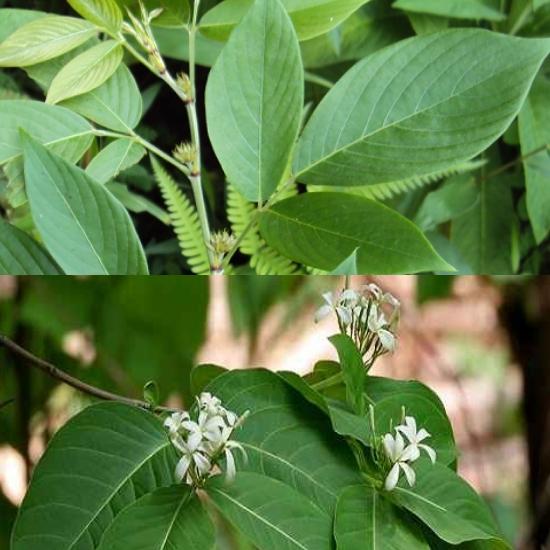 Sản phẩm dược liệu của cây ba chẽ được chia thành nhiều dạng như viên nén hay lá khô