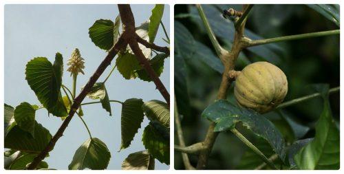 Hoa, quả của ba đậu tây