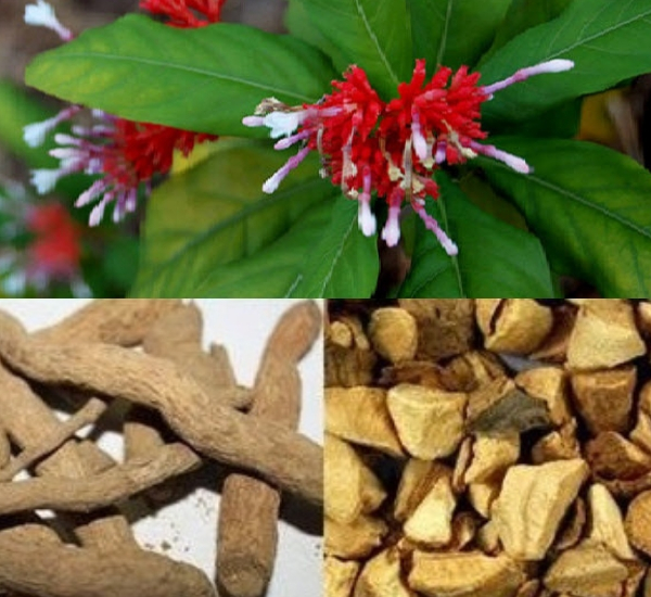 Tác dụng của ba gạc Ấn Độ trong trị bệnh cao huyết áp, an thần