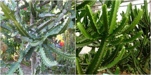 Hình ảnh cây bá vương tiêm