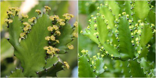 Hình ảnh hoa bá vương tiêm