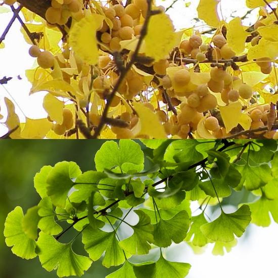 Hình ảnh lá cây bạch quả