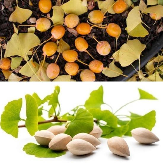 Hình ảnh hạt cây bạch quả