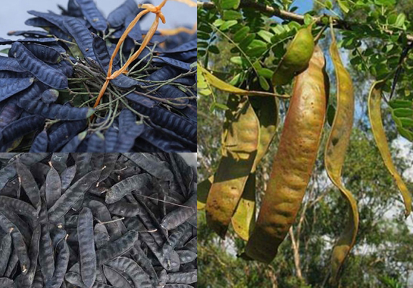 Bồ kết là gì cùng hình ảnh và cách dùng của cây bồ kết ra sao