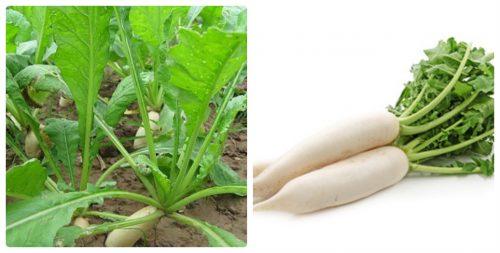 Hình ảnh cây củ cải trắng