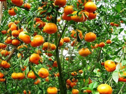 Hình ảnh cây cam