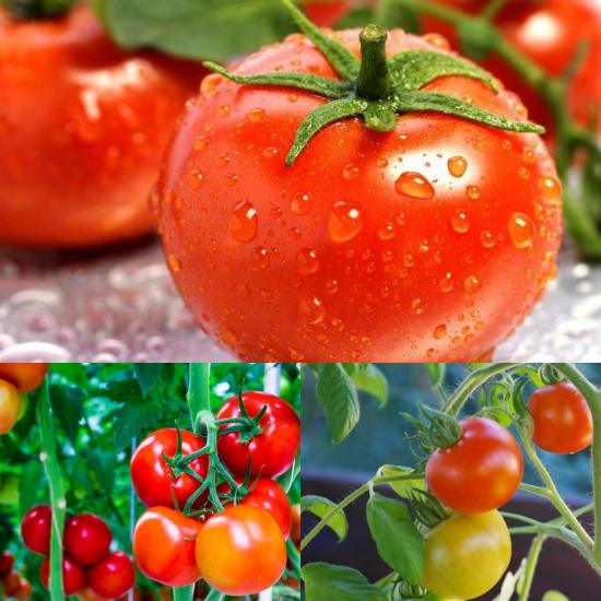 Hình ảnh quả cà chua