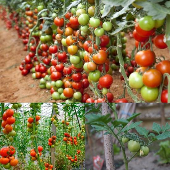 Cà chua là loại quả rất dễ trồng và cho năng suất cao