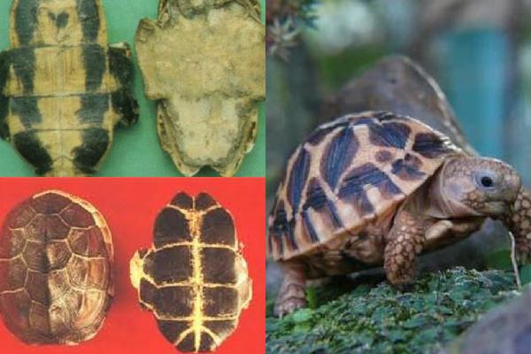 Cao quy bản được làm từ yếm rùa đã lọc sạch thịt