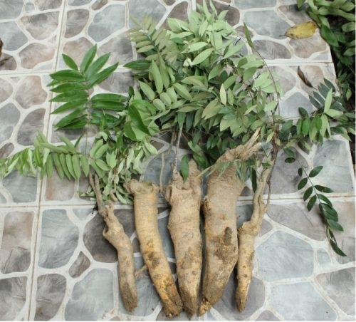 Hình ảnh thân cây bá bệnh dùng làm thuốc