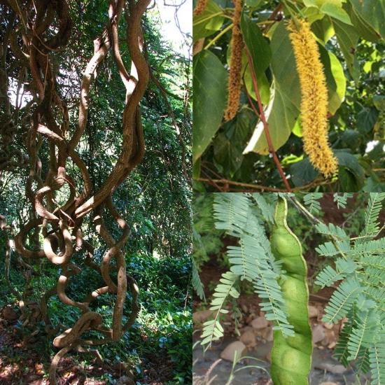 Hình ảnh cây bàm bàm