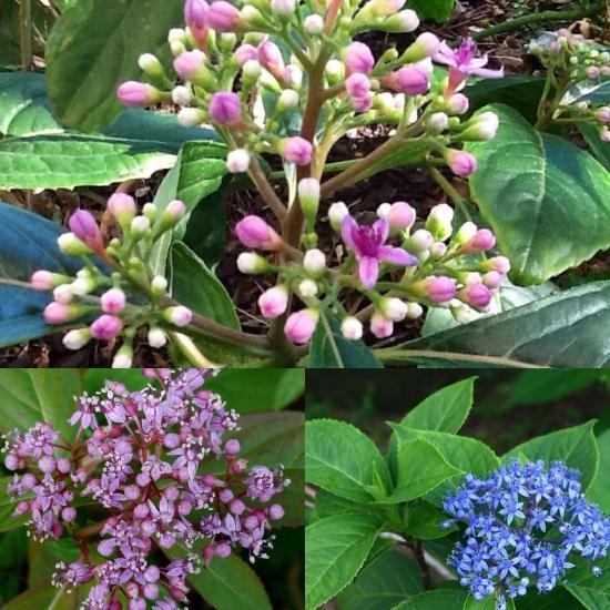Hình ảnh hoa cây thường sơn