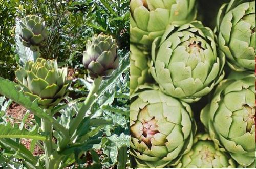 Cây actisô được trồng nhiều ở Châu Âu