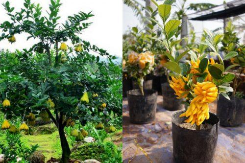Hình ảnh cây phật thủ được trồng tại vườn và cây trồng làm cảnh trong nhà