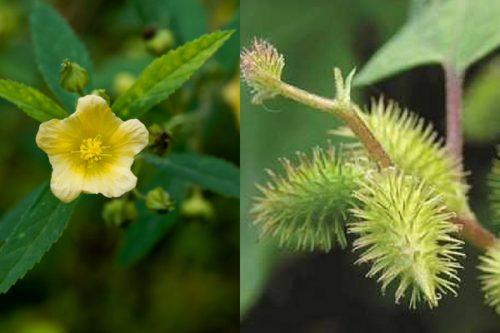 Hoa và quả cây bạch bối hoàng hoa nhậm có thể chữa được bệnh xương khớp