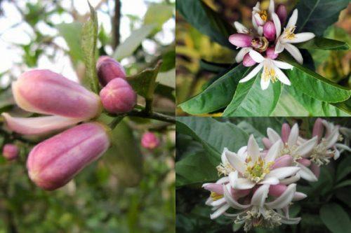 Hoa cây phật thủ thường có màu trắng khi nở