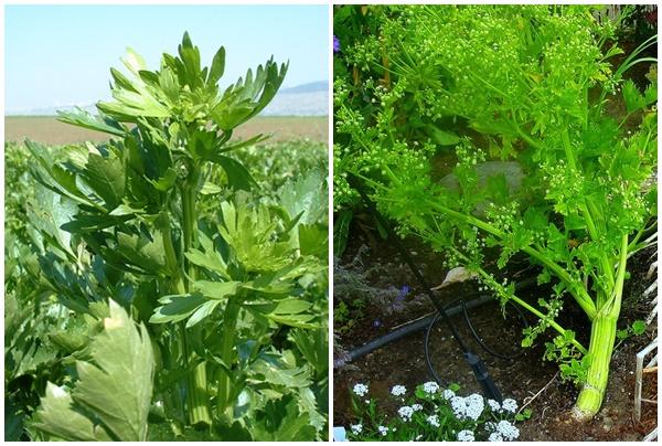 Hoa rau cần tây có màu trắng.