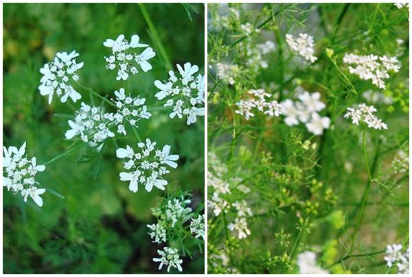 Hoa rau mùi khi già có màu trắng.
