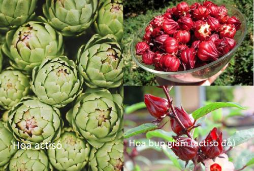 Phân biệt hoa actisô và actisô đỏ