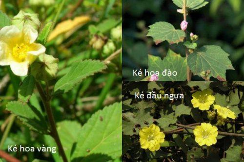 Cách phân biệt cây bạch bối hoàng hoa nhậm với ké đầu ngựa và ké hoa đào